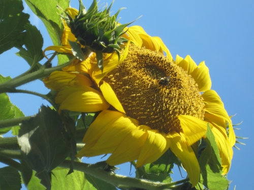 Awesome Sunflower with Bee